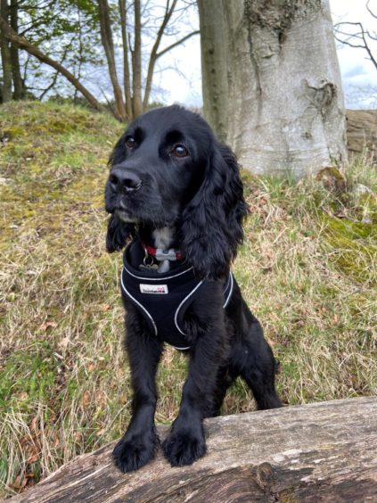 This wee star is Indy, a five-month-old working cocker spaniel on his first trip to Tollohill Woods, in Aberdeen. His owner, Louise MacLean, tells us he was doing a great job with his off-lead training.