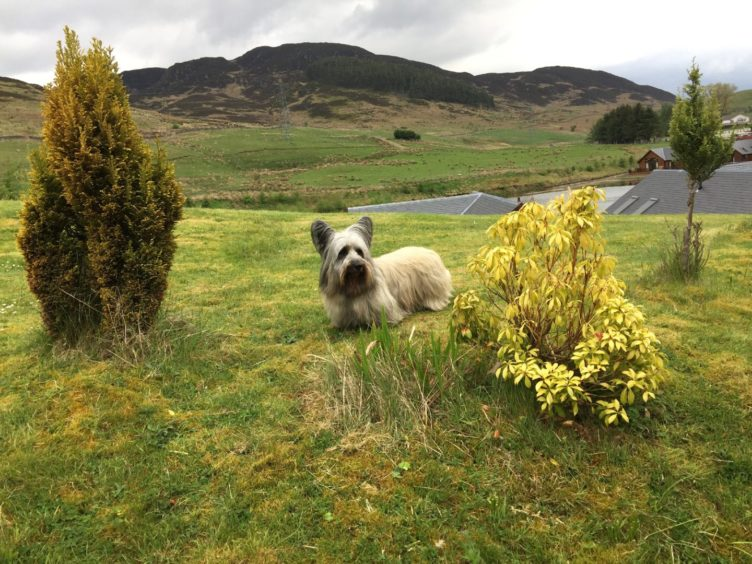 Billy Ramsay, from Burghead, sent us this wonderful picture of his Skye terrier, Kobi.