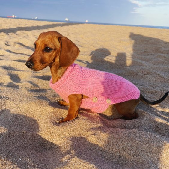 How cute is Mabel, the four-month-old miniature dachshund? Owner Kara Duncan sent in this image of Mabel at Donmouth Nature Reserve in Aberdeen.