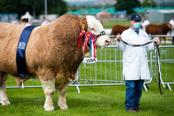 The Simmental champion at the Showcase was Drumsleed Hivy from the Smiths at Drumsleed, Fordoun, Laurencekirk.