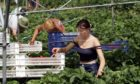 A large proportion of workers on fruit and vegetable farmers come from outside of the UK.