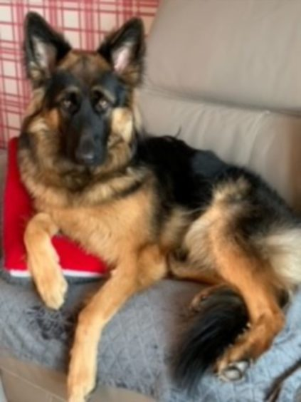 Say hello to Zahra, the 11-month-old German shepherd who lives with Kerry Maclean in Dingwall.