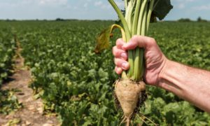 PROJECT: Backing has been secured for a study to analyse the potential of sugar beet.