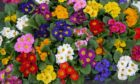 Polyanthus bring a beautiful splash of colour to any garden.