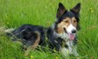 Gizzi is a five-year-old tricolour collie owned by Lawson and Jacqueline Taylor, from Onich, by Fort William.