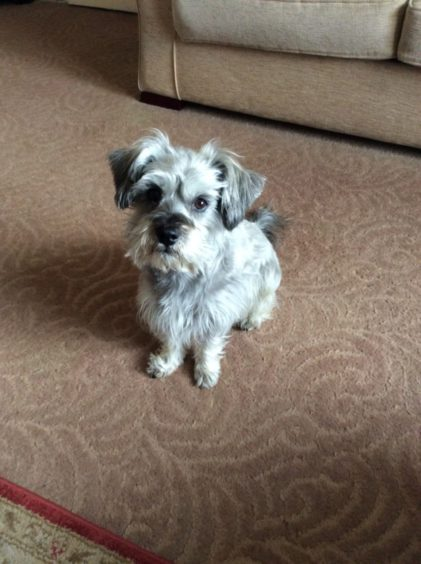 This is Corrie, a cross schnauzer and Tibetan spaniel, who is eight and lives in New Elgin with his owner Audrey Gill.