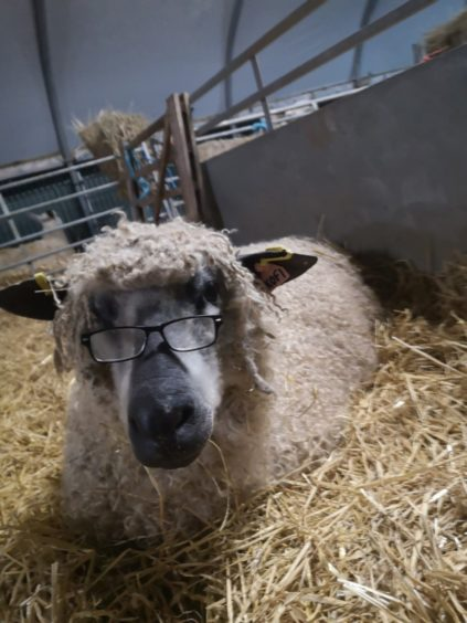 Morgan Duncan, from Cuminestown, sent us this fantastic picture of Kofi the Wensleydale relaxing in the polytunnel. Apparently Kofi makes a very comfy pillow!