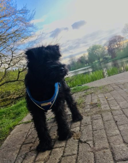 Frankie McAtasney, a 12-week-old miniature schnauzer, owned by Jenna Taylor and Stephen McAtasney, of Turriff.