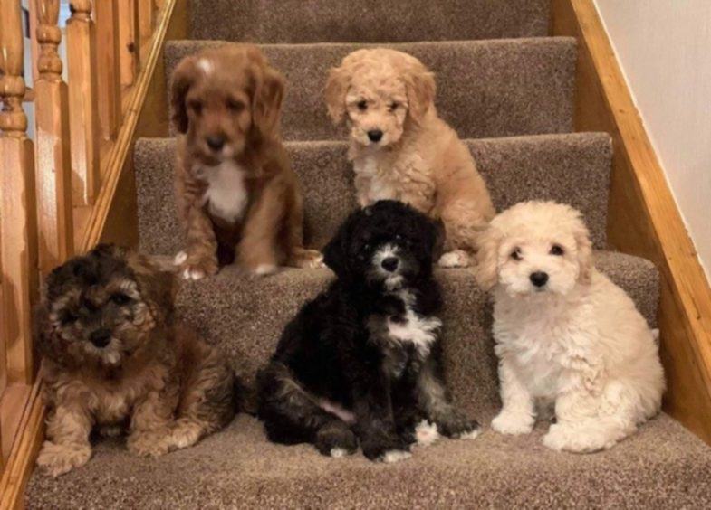 Meet the cute cavapoochons – breeder Trina, from Peterhead, says they are all now in their new homes.
