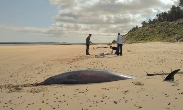 The whales were found on the coast at Culbin Forest, near Findhorn. Photo: Steve Truluck at Sea