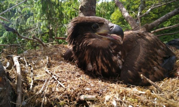 A white-tailed sea eagle chick in its nest on the isle of Ulva.