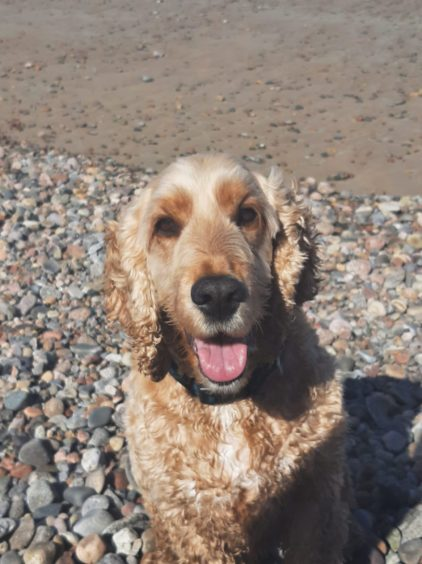 Thanks to Fiona Allan, from Aberdeen, for sending us this great photo of Ziggy the cocker spaniel, pictured at Aberdeen Beach last month (June)