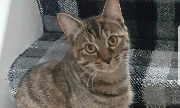 Maddie the tabby cat who went missing over two years ago.
