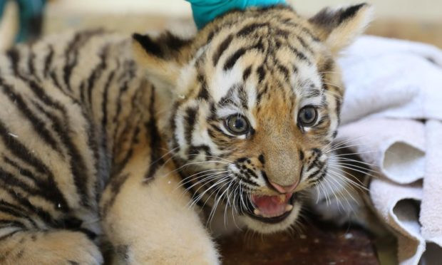 The male Amur tiger cub getting his check-up. Picture from the Highland Wildlife Park