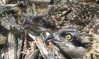 The new chicks at Loch Arkaig.