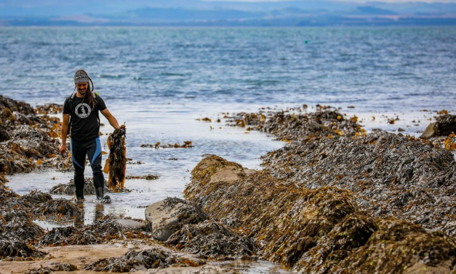 Jayson Byles foraging for seaweed on the Fife coast.