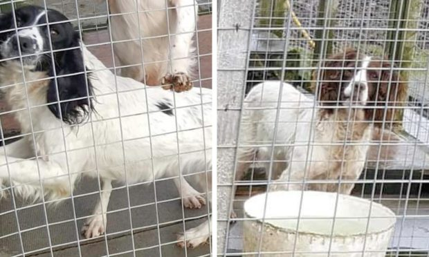 The two Springer Spaniel dogs were stolen from their home at the weekend.