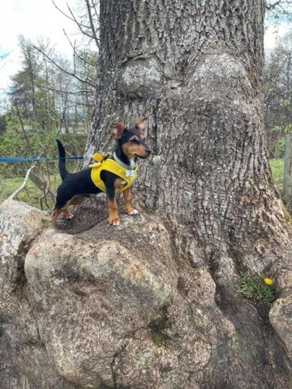 This little adventurer is Loki, a five-month-old Jack Russell, pictured at his local park in Alness, Ross-Shire. Thanks to Lynda McGarrity for sending it in.