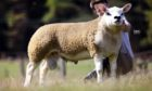 Ram lamb Auldhouseburn Expression led the sale when he sold for 100,000gn.