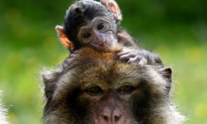 Blair Drummond features various animals including Barbary Macaques, pictured at the park