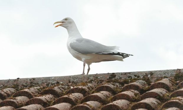 A gull on a rooftop in Elgin