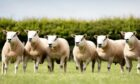 The on-farm ram sale takes place on Saturday August 21.