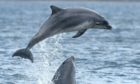 An earlier shot of dolphins at Chanonry  Point on the Black Isle.