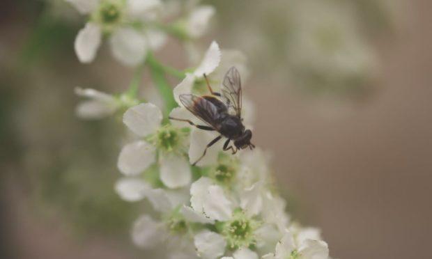 The rare pine hoverfly has enjoyed a record breaking breeding season. Photograph by RZSS