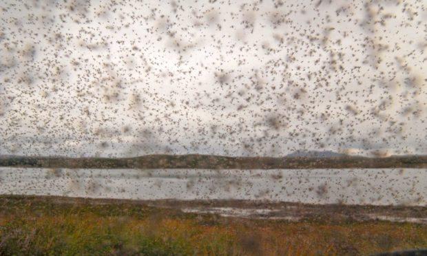Swarm of midges