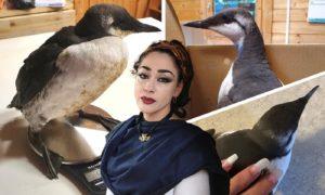 Guillemots in the care of the Blue Highlands Bird Rescue Centre, run by founding director Lady Hadassah Broscova-Righetti, centre.