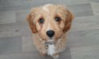 Ziggy the cavapoochon was viciously attacked and left needing specialist treatment.