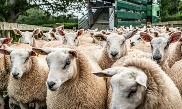OPPORTUNITY:  Sheep producers could benefit from the reopening of a US market.