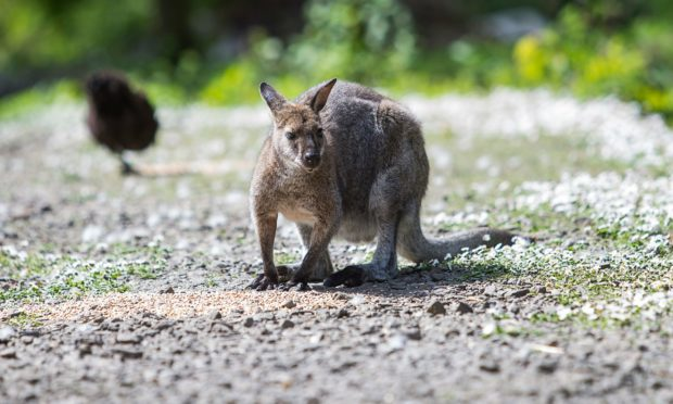 A wallaby, similar to Eddie who has gone missing in Aberdeenshire. Picture from Shutterstock