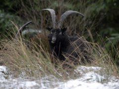 A wild goat similar to the one shot on Islay (Owen Humphreys/PA)