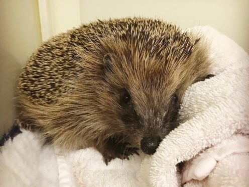 Philomena the hedgehog will spend the rest of her days living on Brian May's veg patch (SaveMeTrust/PA)
