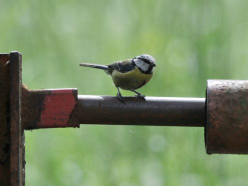 A blue tit in a garden (Nick Ansell/PA)
