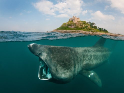Basking sharks prefer to travel with family to familiar feeding sites, according to a new study led by the University of Aberdeen (Alexander Mustard/WWF/PA)