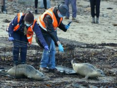 Staff from British Divers Marine Life Rescue and Tynemouth Aquarium release three seal pups (PA)
