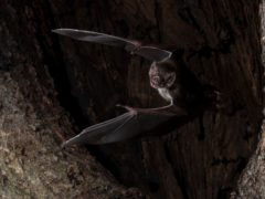 Vampire bats socially distance when they are sick, study suggests (Sherri and Brock Fenton/Behavioural Ecology)