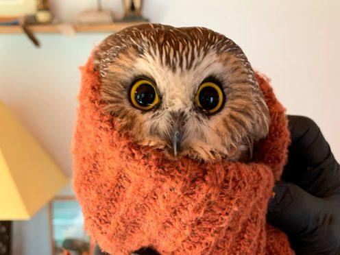 Rocky the owl (Lindsay Possumato/Ravensbeard Wildlife Center via AP)