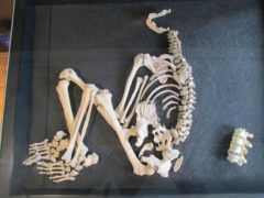 The spine of the Iron Age man has signs showing he was the first TB sufferer in Britain (University of Southampton/PA)