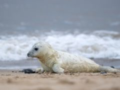 A newborn grey seal pup on the beach at Horsey in Norfolk, which is one the UK's most important sites for the mammals (Joe Giddens/PA)