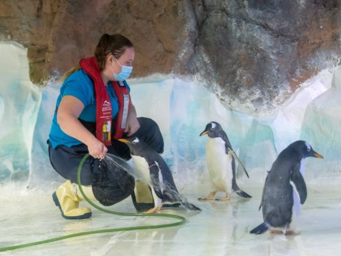Animal care team member Sammie Wilks cleans the inside of the penguin enclosure at the National Sea Life Centre in Birmingham (Joe Giddens/PA)