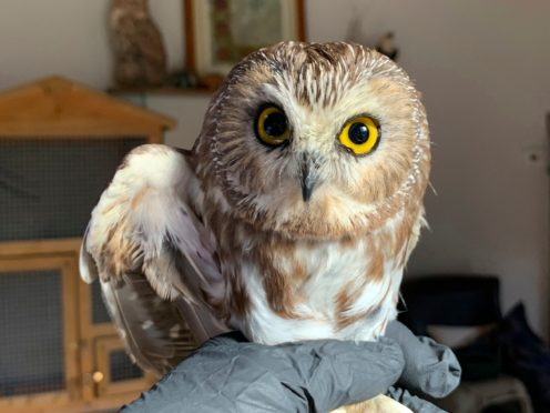 Ravensbeard Wildlife Center Director and founder Ellen Kalish holds a Saw-whet owl at their facility in Saugerties, New York (Lindsay Possumato/Ravensbeard Wildlife Center via AP)