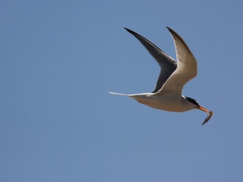 Nesting pairs of little terns fledged more than 200 chicks at Blakeney Point (Andrew Capell/National Trust/PA)