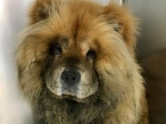 A chow chow who was found electrocuted on train tracks near Liverpool Central Station (RSPCA/PA)