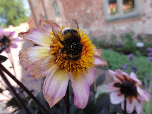 Big bumblebees take time to learn the locations of the best flowers, new research shows (Natalie Hempel de Ibarra/University of Exeter/PA)