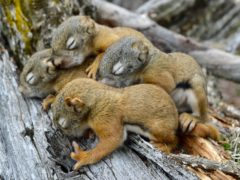 North American squirrel pups (Dr Erin Siracusa/University of Exeter)