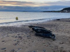 The seals were released in Swansea (RSPCA/PA)