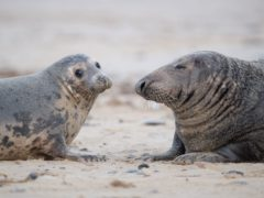 Grey seals on the beach at Horsey Gap in Norfolk (Joe Giddens/PA)